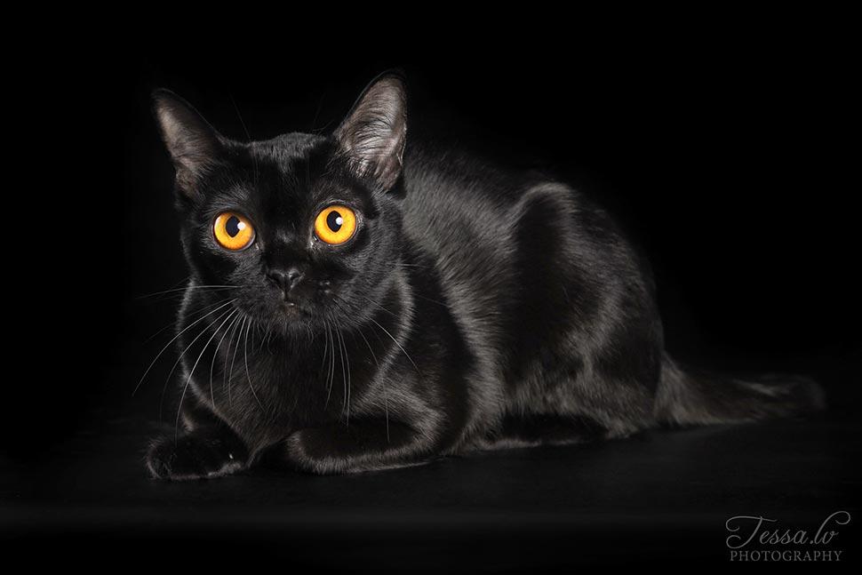 """Bombėjaus kačių veislynas """"BomAmbero"""""""