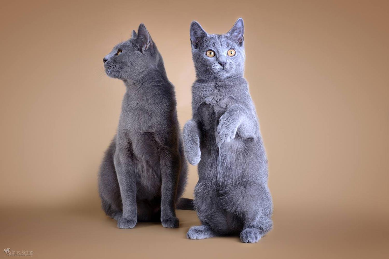 """Chartreux kačių veislynas """"Soft Silence"""""""